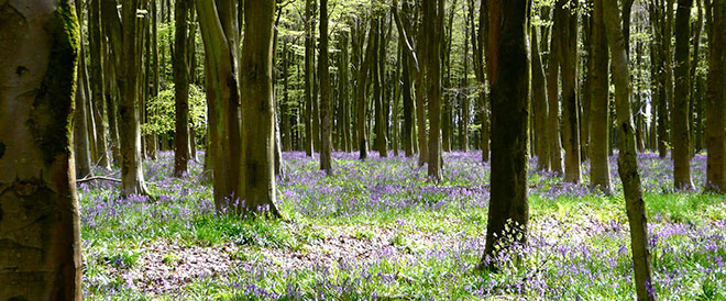 Forest in Spring with purple meadow